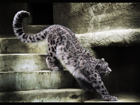 Stretching Snow Leopard by Amrahelle