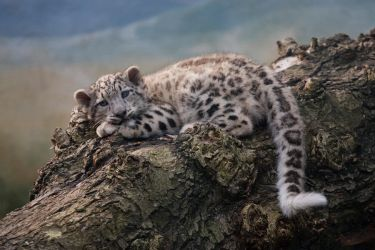 Snow Leopard cub by Tygrik