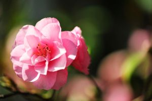 Pink Flower by pohlmannmark