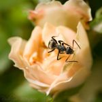 Ant on Rose I by ironmanbr