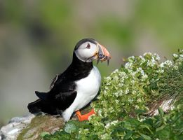 Atlantic Puffin 04 by nordfold