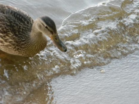 duck in surf by trista25