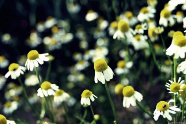 chamomile by Lucie-Lilly