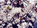 cherry blossom in the early spring by Zuendstaebchen