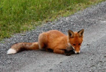 Fox sniffin on da ground by CrocodileRawk