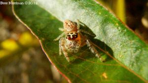 Jumping Spider VII by BreeSpawn
