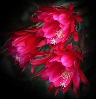 More Pink-Epiphyllum by Firey-Sunset
