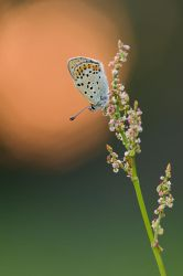 lycaena tityrus by mescamesh