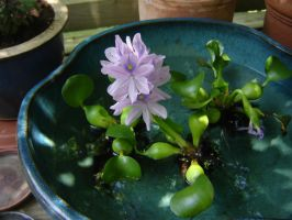 Water Lily by artloverrsnp