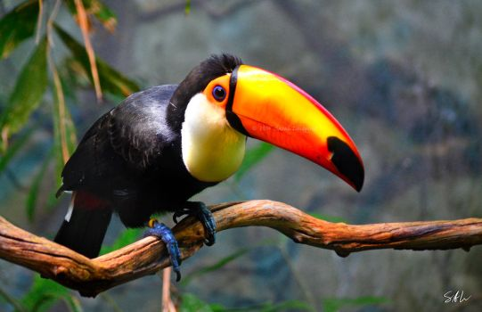 Toco Toucan by AzureWindProductions