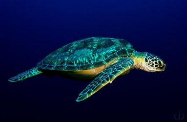 Blue turtle by Holophite