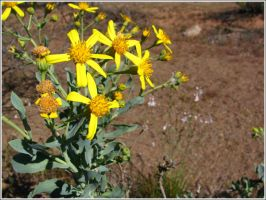 42. Showy Groundsel by fire-works