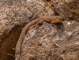 Spiny Whorltail Lizard -Machu Picchu by TarJakArt
