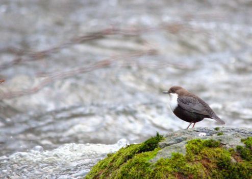White-throated dipper by Wherethehappinessis