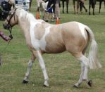 Palomino-paint-brumby5 by tbg-stock-images