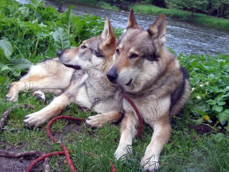 czech wolfdog - dad and son by Blondlupina