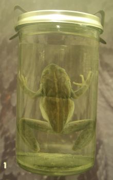 Pickled Frog by kayne-stock