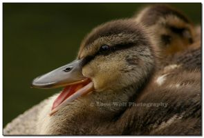 Little Quacker by LoneWolfPhotography