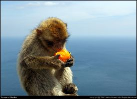 The ape of Gibraltar by bright