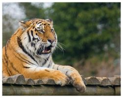 Siberian Tiger by Wolfy2k4