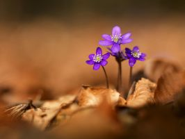 hepatica nobilis wallpaper by mescamesh