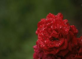 Rainy Red Rose by Ciuva