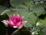 Pink Waterlily by callmenotwo