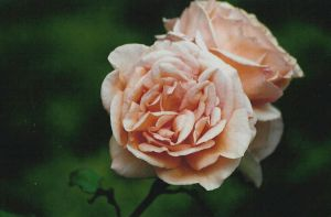 In full peachy bloom by sunnie