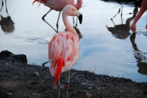 Flamingo by oddjester