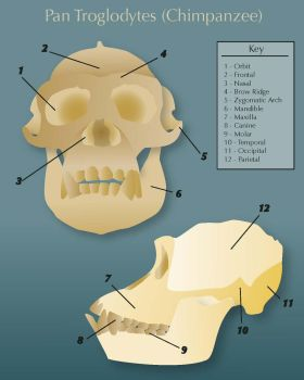 Infographic on Chimp Skull by xlivefreeordiex