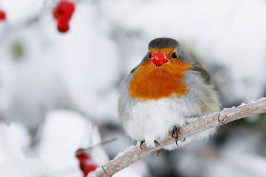 Rudolph the Rednose Robin by thrumyeye