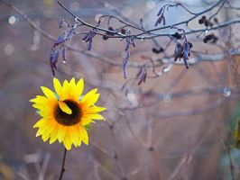 Lonely sunflower by Morgan-Lou