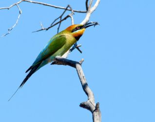 Rainbow Bee-Eater 2 by Chezza932