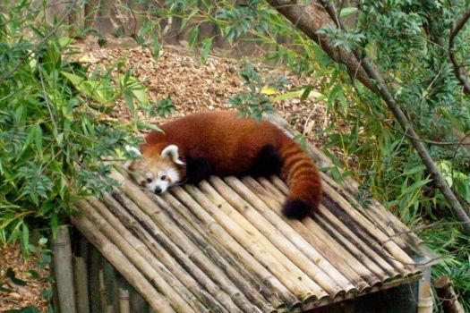 sleeping red panda by Chewiesdad