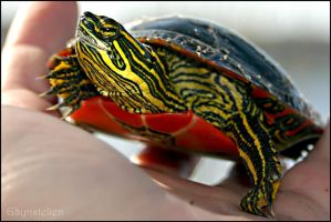 Turtle in my Hand by UffdaGreg