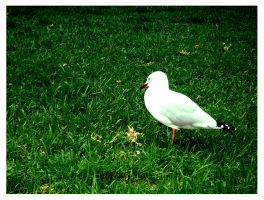 Seagull On the Greens by Lilithia