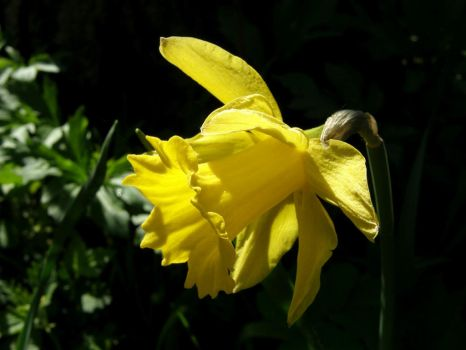 Narcissus yellow 3 by FloraLoveNL