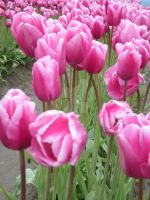 Tulips 21 by whisper-n-the-wind