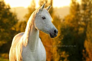 Arabian mare in the autumn backlight by Partridge-PetPics