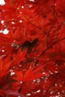 Red Maple 4 by Aquiose