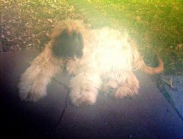Afghan hound picture taken with an awful camera by caspercrafts