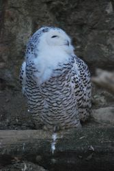 Tired Snowy Owl by NicamShilova