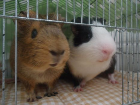 Guinea Pigs by Olsonz