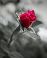 Beauty of a Rose by JoeGP