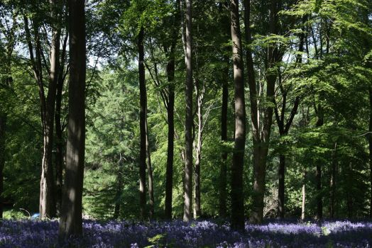 Bluebell Wood 2 by Topaz172