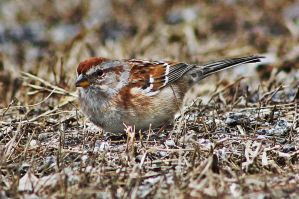Red Capped Sparrow 2 by acousticrehab