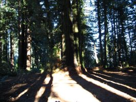 Redwood Shadows by satsui