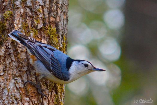 White-breasted Nuthatch by Spid4