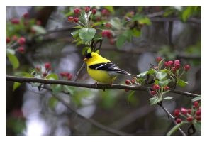 Goldfinch by dove-51