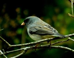 Junco 2 by marshwood